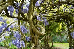 Wisteria arch at Greys Court. Wisteria in bloom at stately home Greys Court, Oxfordshire in May Royalty Free Stock Photo