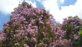 Wisteria. A big beautiful flowering plant of Wisteria Stock Image