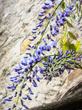 Wisteria bloom against the wall Stock Photos