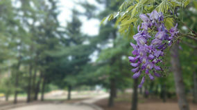 Wisteria in bloom stock photography