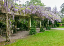 Wisteria Bloom Spring. Cell phone image of wisteria, a woody climbing vine with large pendulous flower clusters native to Eastern United States and a genus of Stock Photo