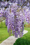 Wisteria in bloom Royalty Free Stock Images