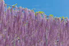 Wisteria bloomimg in end of spring season Stock Photo