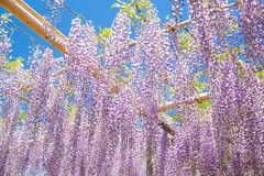 Wisteria bloomimg in end of spring season Royalty Free Stock Image