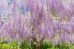 Wisteria bloomimg in end of spring season Royalty Free Stock Photos