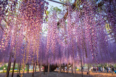 Wisteria bloomimg Royalty Free Stock Photo