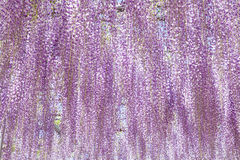 Wisteria blooming in end of spring season Royalty Free Stock Photos