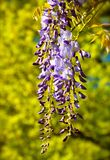 Wisteria blooming Stock Photo