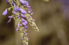 Wisteria blooms against a brown background royalty free stock photos
