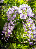Wisteria blooms against green leaves Stock Photo