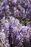 Wisteria blooms. Lush flowering wisteria in spring Royalty Free Stock Photos