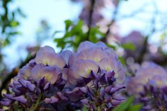 Wisteria Blooms. Macro shot of wisteria blooms royalty free stock photography