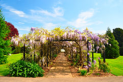 Wisteria blossom forming archway Stock Image