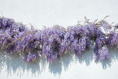 Wisteria Royalty Free Stock Photography