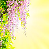 Wisteria blossoming Royalty Free Stock Images