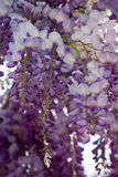 Wisteria blossoms. Beautiful and fragrant wisteria blossoms in abundance Royalty Free Stock Photography