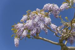 Wisteria blossoms flowers Royalty Free Stock Image