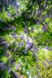 Wisteria blossoms Royalty Free Stock Photography