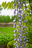 Wisteria branch Stock Photos