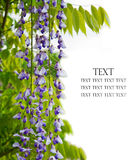 Wisteria branch Royalty Free Stock Image