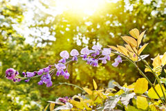 Wisteria branch Royalty Free Stock Photo