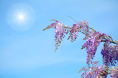 Wisteria branch under the sun Stock Images