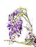 Wisteria branches inside glass vase over white Royalty Free Stock Image