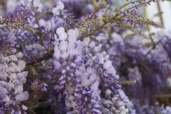 Wisteria Branches Stock Illustration Illustration Of