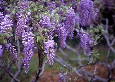 Wisteria, Brooklyn Botanic Garden. This beautiful Wisteria tree is in full bloom at the Brooklyn Botanic Gardens Stock Photos