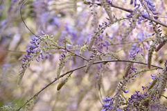 Wisteria buds Royalty Free Stock Photography