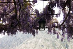 Wisteria. The canopy of wisteria blossoms Stock Photography