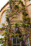 Wisteria chinensis Royalty Free Stock Photos