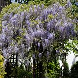 Wisteria. Royalty Free Stock Images