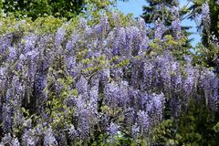 Wisteria. Royalty Free Stock Photography