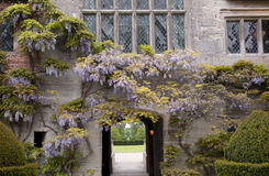 Wisteria Royalty Free Stock Image
