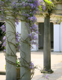Wisteria climbing pillars Stock Photo