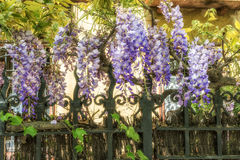 Wisteria clings to an iron grate fence. Wisteria clings to an iron grate fence Stock Image