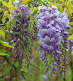 Wisteria-close-up Stock Images