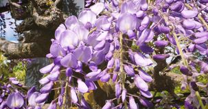 Wisteria close-up vibrant plant stock video footage
