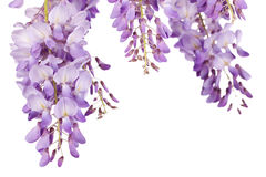 Wisteria closeup Stock Photos