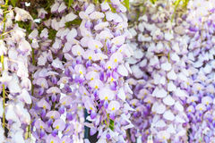 Wisteria closeup holiday birthday flower background Royalty Free Stock Photography