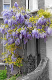 Wisteria Cottage Royalty Free Stock Image