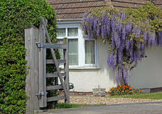 Wisteria cottage. Photo of beautiful wisteria growing around a kent cottage with wooden open gate to garden taken 29th april 2017 stock image