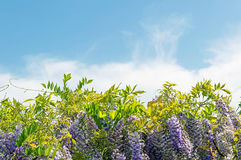 Wisteria curls and leaves and blue sky with clouds Stock Photography