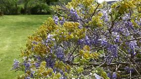 Wisteria in de de zomerzon in Taranaki stock footage