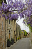 Wisteria Draped Over the Streets of Vinci, Italy. Wisteria floribunda, is in full bloom over the streets of Vinci, Italy in April. Its lavender flowers are royalty free stock photo