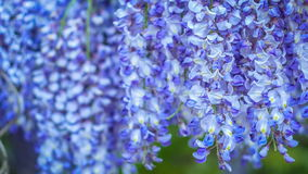 Wisteria on evening, wind moving the hanging flowers. Big green tree in the background. 4K 3840 x 2160 ultra high definition footage stock video footage
