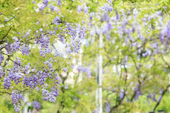 Wisteria floribunda with nice color and background Stock Photo