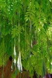 Wisteria floribunda. F. Multijuga Japanese wisteria royalty free stock image