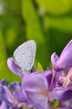 Wisteria flower with butterfly. Macro detail of Royal Blue Butterfly on wisteria flower royalty free stock photography